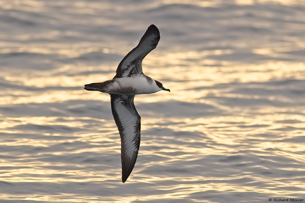 Surfbirds Online Photo Gallery Search Results